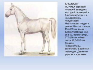 АРАБСКАЯ ПОРОДАверховых лошадей, выведена народной селекцией в 1-м тысячелет