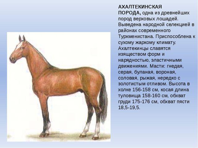 АХАЛТЕКИНСКАЯ ПОРОДА,одна из древнейших пород верховых лошадей. Выведена нар...