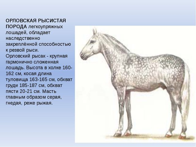 ОРЛОВСКАЯ РЫСИСТАЯ ПОРОДАлегкоупряжных лошадей, обладает наследственно закре...