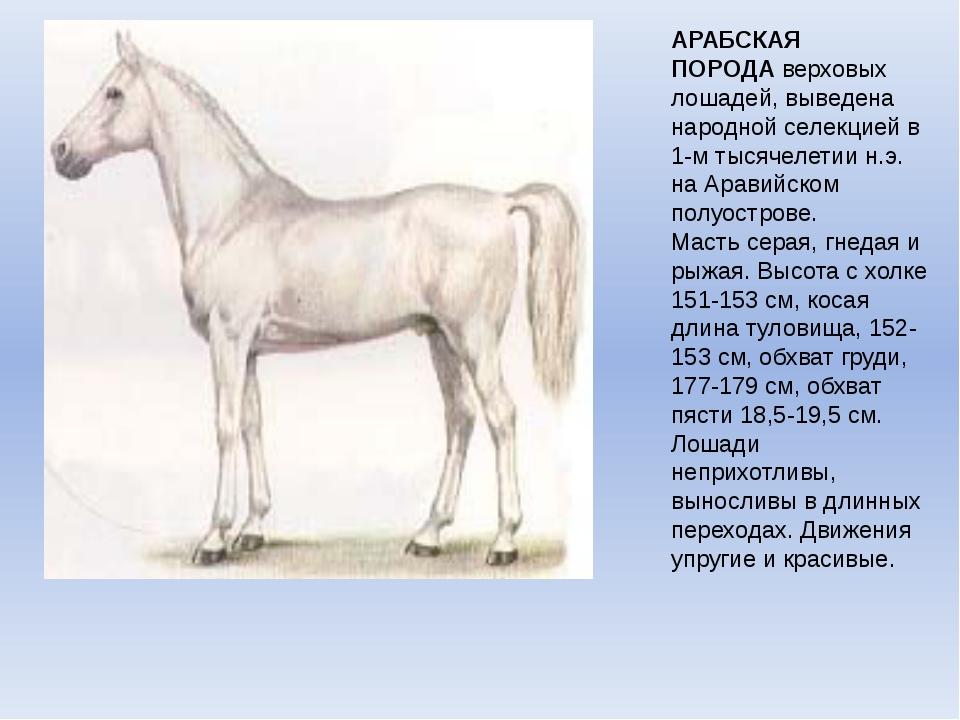 АРАБСКАЯ ПОРОДАверховых лошадей, выведена народной селекцией в 1-м тысячелет...