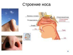 * Строение носа
