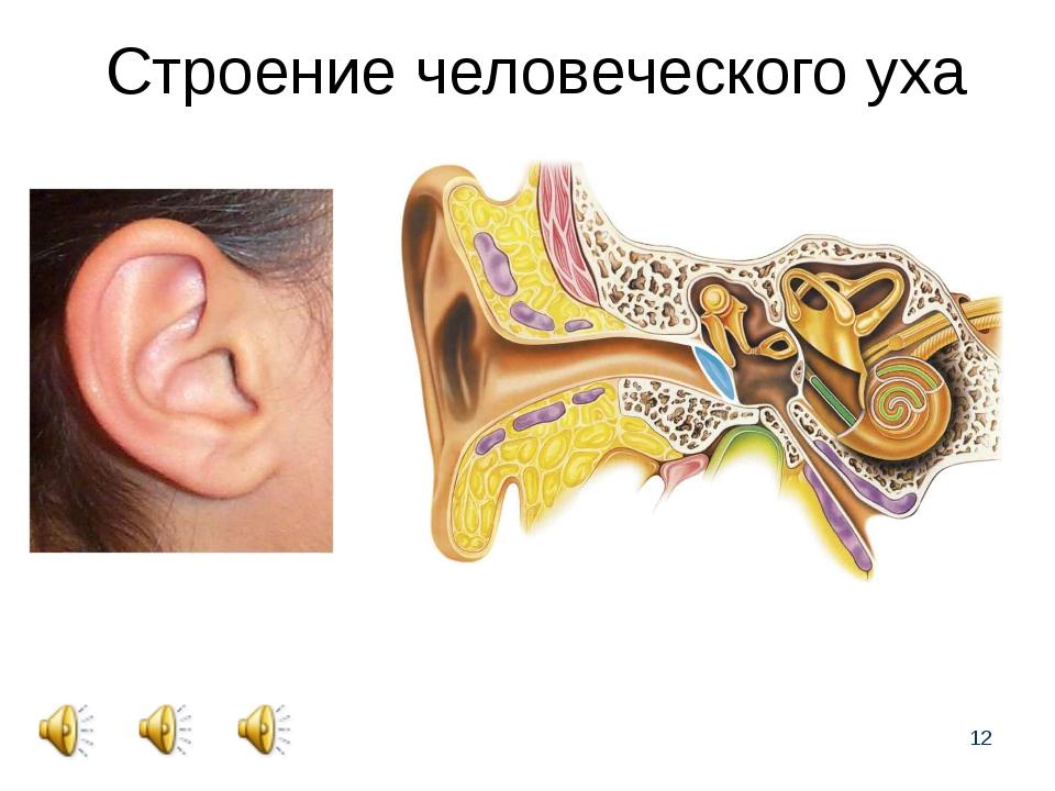 * Строение человеческого уха
