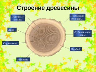 Строение древесины Годичные кольца Сердцевина Заболонь Ядро Пробковый слой ко