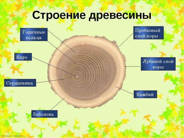 Строение древесины Годичные кольца Сердцевина Заболонь Ядро Пробковый слой ко...