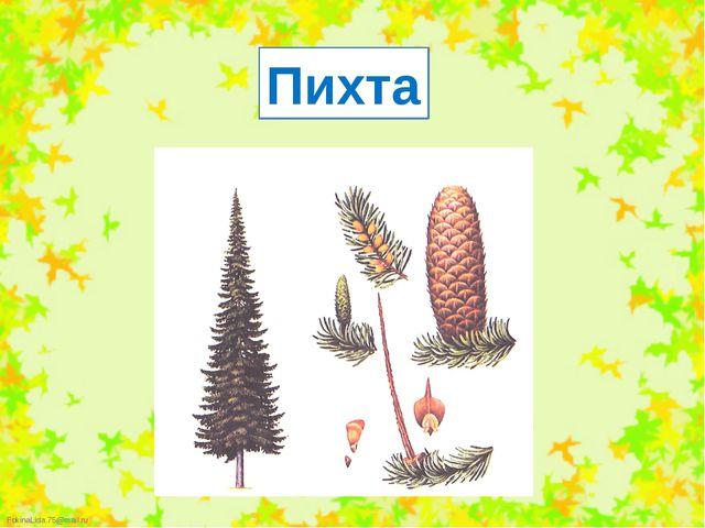 Пихта FokinaLida.75@mail.ru