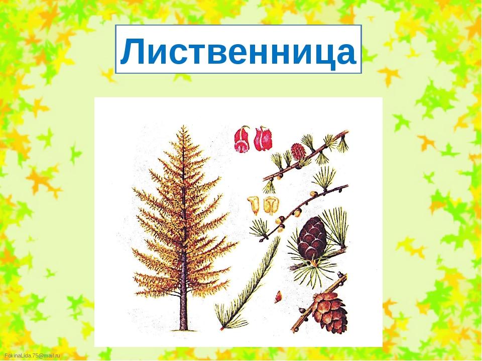 Лиственница FokinaLida.75@mail.ru