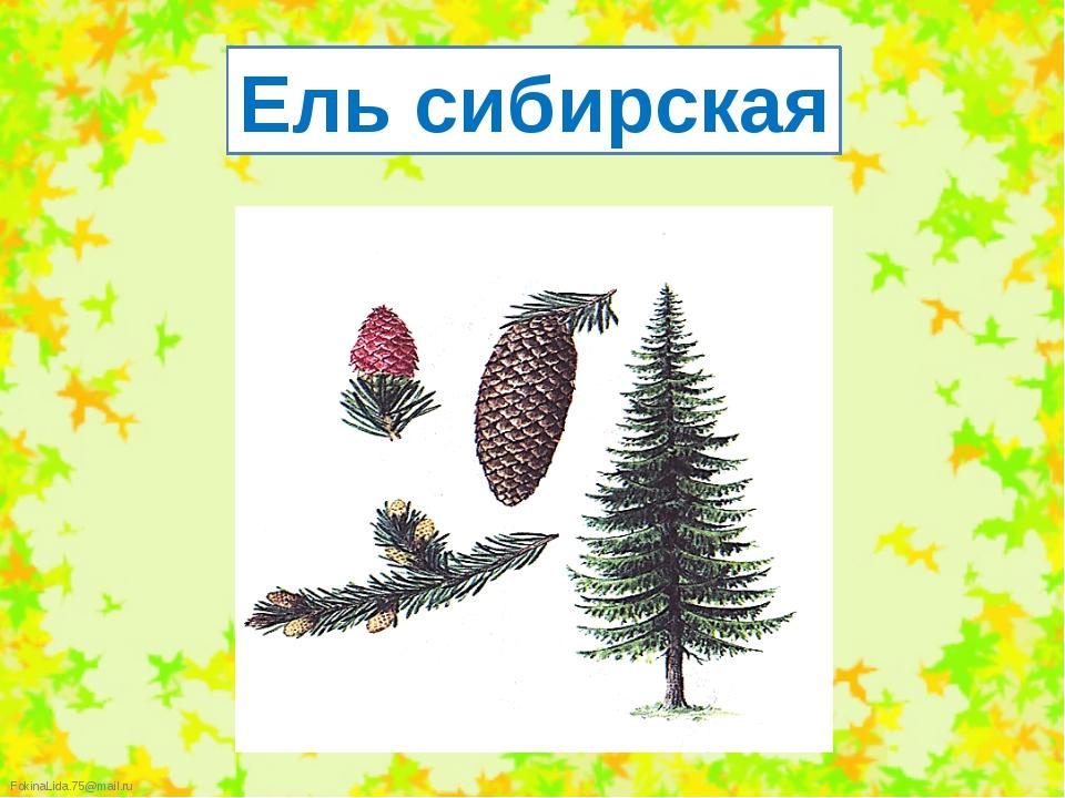 Ель сибирская FokinaLida.75@mail.ru