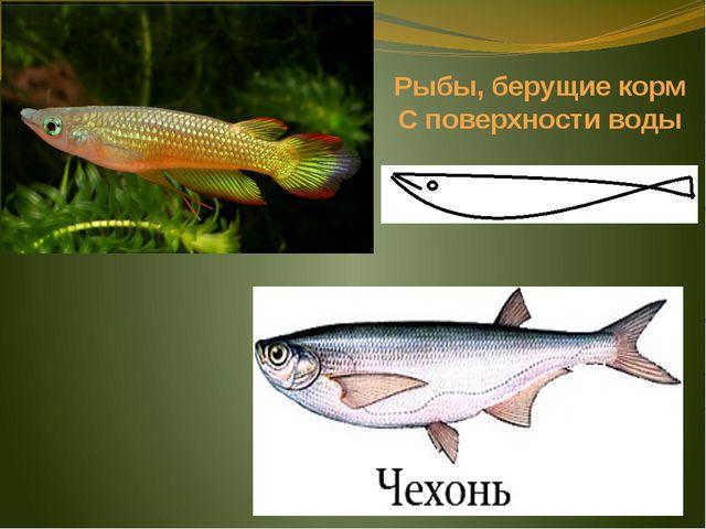Рыбы, берущие корм С поверхности воды