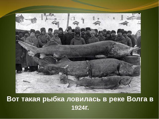 Вот такая рыбка ловилась в реке Волга в 1924г.