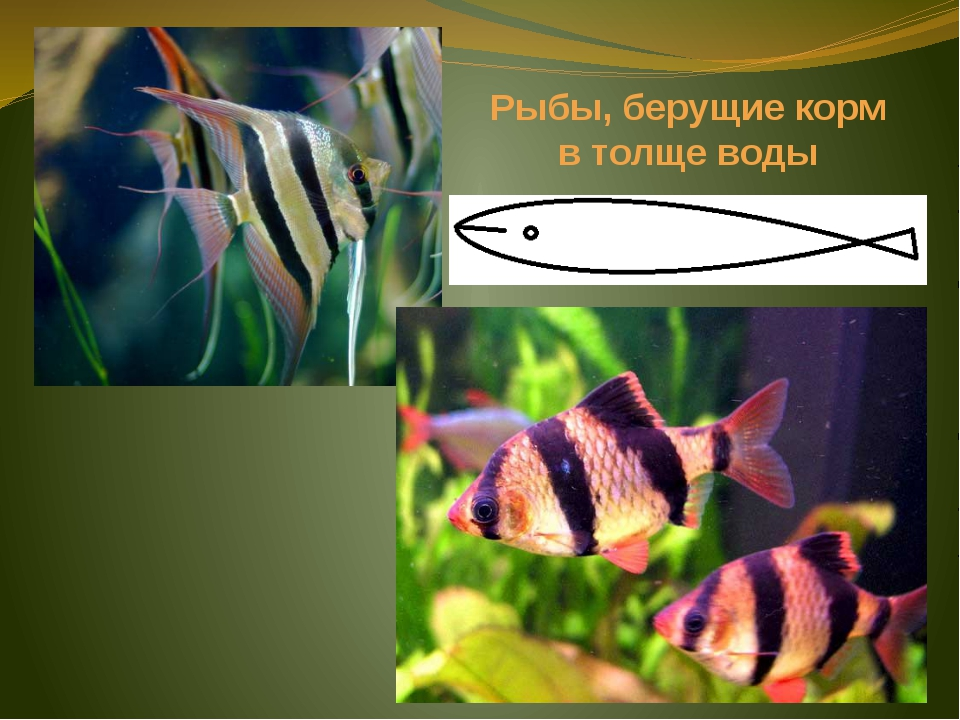 Рыбы, берущие корм в толще воды