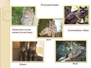 Кавказская лесная кошка (лесной кот) рысь Енотовидная собака Шакал Млекопитаю