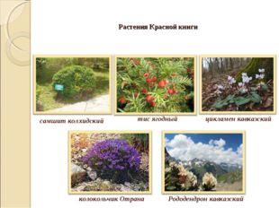 Растения Красной книги самшит колхидский тис ягодный цикламен кавказский коло
