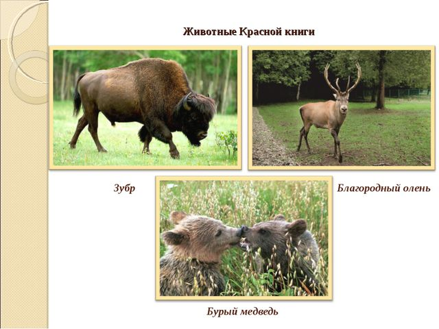 Животные Красной книги Зубр Бурый медведь Благородный олень