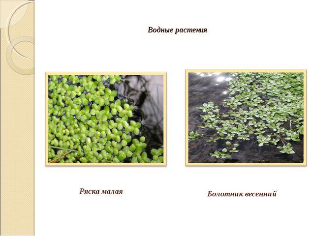 Водные растения Ряска малая Болотник весенний
