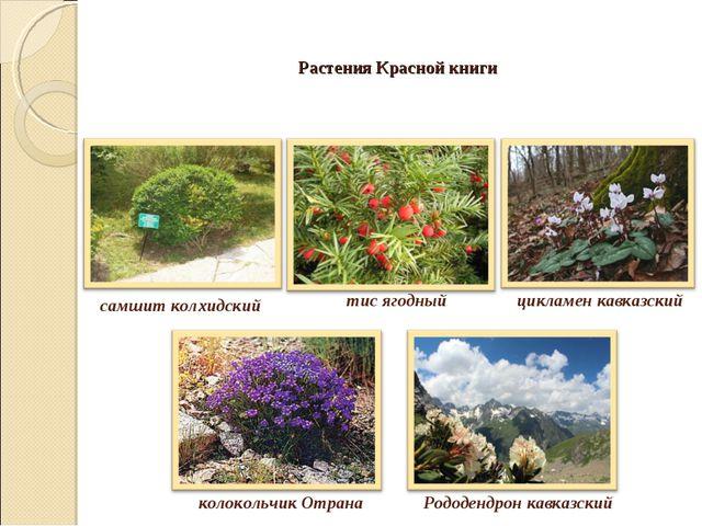 Растения Красной книги самшит колхидский тис ягодный цикламен кавказский коло...