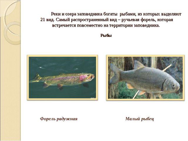 Реки и озера заповедника богаты рыбами, из которых выделяют 21 вид. Самый...