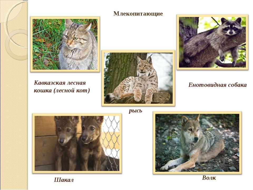 Кавказская лесная кошка (лесной кот) рысь Енотовидная собака Шакал Млекопитаю...