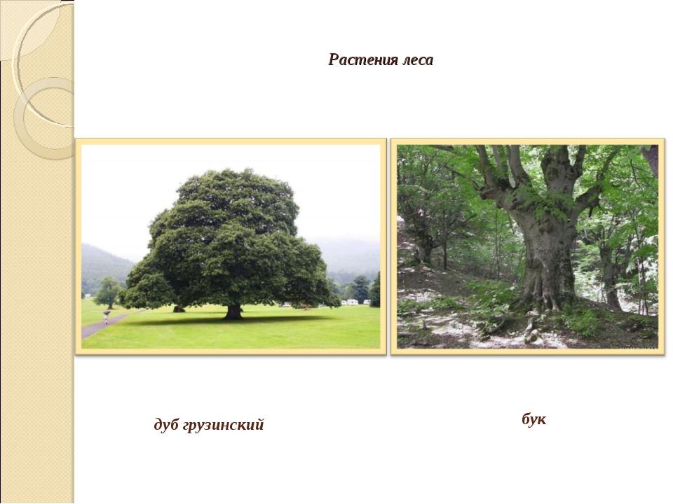 Растения леса дуб грузинский бук