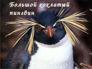 Большой хохлатый пингвин