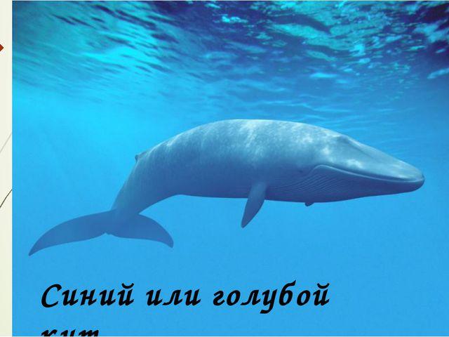 Синий или голубой кит