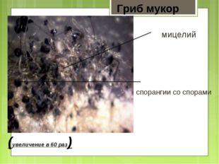 Гриб мукор (увеличение в 60 раз) спорангии со спорами мицелий