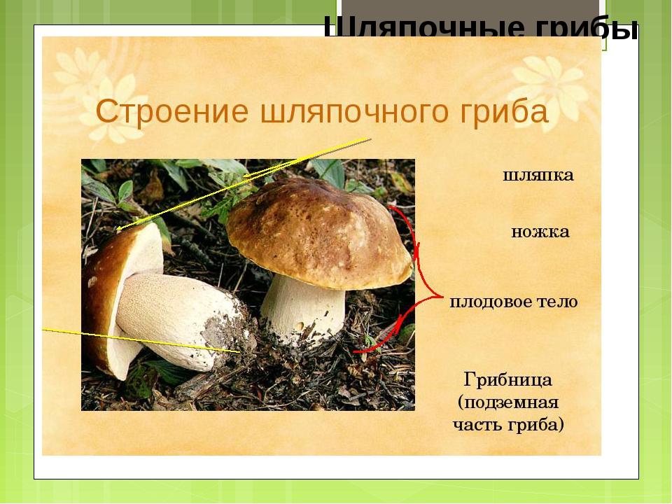 Шляпочные грибы шляпка пенек