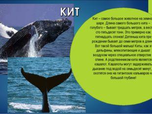 Кит – самое большое животное на земном шаре. Длина самого большого кита – гол