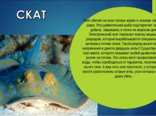 Скат обитает во всех теплых морях и океанах земного шара. Эта удивительная ры