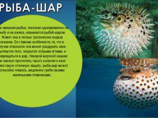 Эта смешная рыбка, похожая одновременно на рыбу и на ежика, называется рыбой-