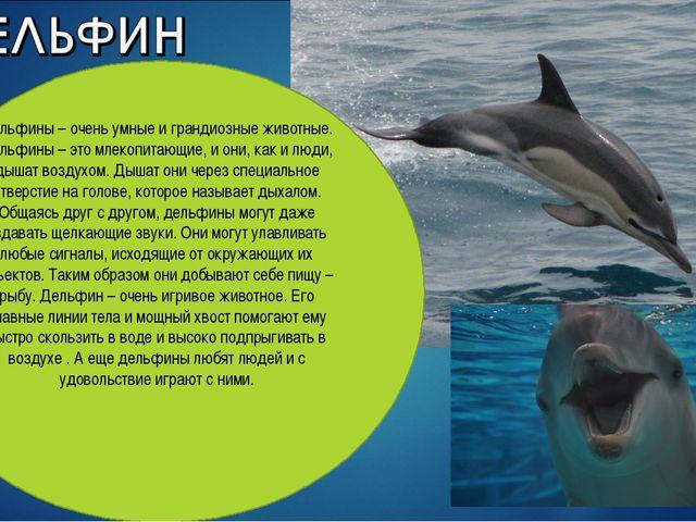 Дельфины – очень умные и грандиозные животные. Дельфины – это млекопитающие,...