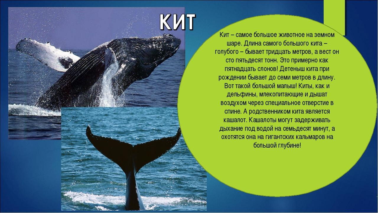 Кит – самое большое животное на земном шаре. Длина самого большого кита – гол...