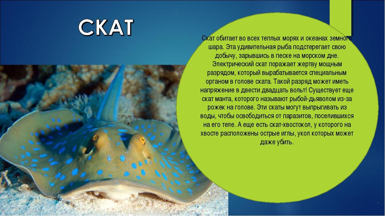 Скат обитает во всех теплых морях и океанах земного шара. Эта удивительная ры...
