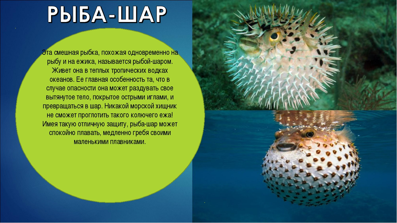 Эта смешная рыбка, похожая одновременно на рыбу и на ежика, называется рыбой-...