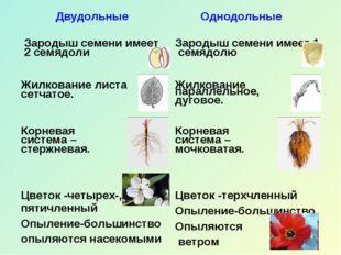 Двудольные Однодольные Зародыш семени имеет 2 семядоли  Зародыш семени имеет