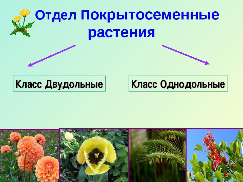 Класс Двудольные Класс Однодольные Отдел Покрытосеменные растения