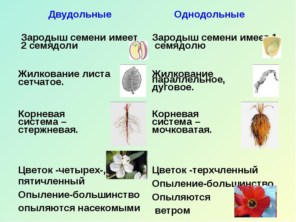 Двудольные Однодольные Зародыш семени имеет 2 семядоли  Зародыш семени имеет...
