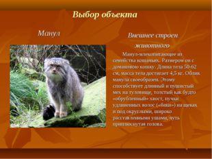 Выбор объекта Манул Внешнее строен животного Манул-млекопитающее из семейства