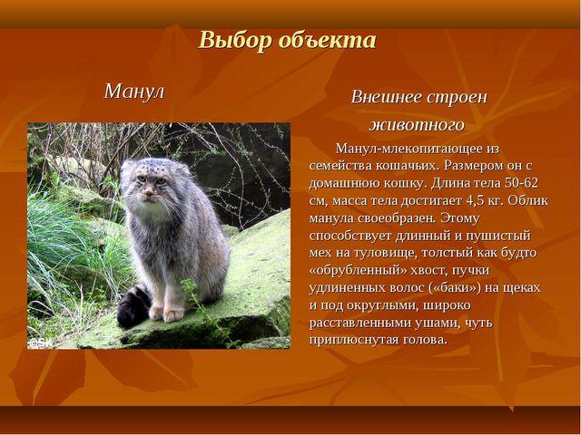 Выбор объекта Манул Внешнее строен животного Манул-млекопитающее из семейства...