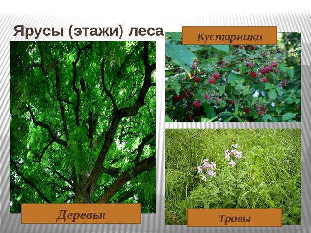 Ярусы (этажи) леса Деревья Кустарники Травы