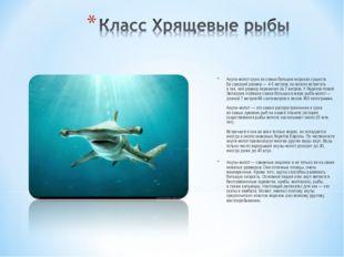 Акула-молот одна изсамых больших морских существ. Еесредний размер— 4-5ме
