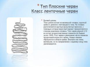 Бычиий цепень Тело цепня состоит из маленькой головки, короткой шейки и длинн