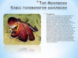 Осьминоги Осьминоги — самые известные из головоногих моллюсков, но, тем не ме
