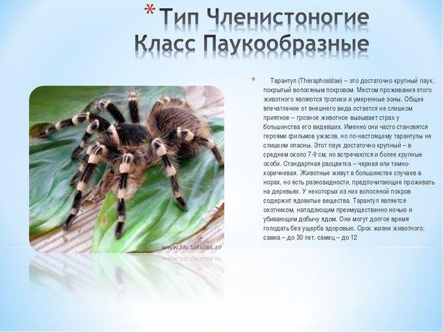 Тарантул (Theraphosidae) – это достаточно крупный паук, покрытый волосяным п...