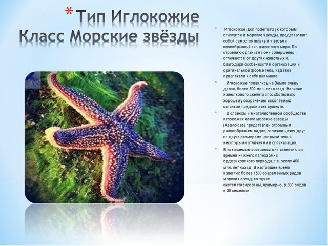 Иглокожие (Echinodermata) к которым относятся и морские звезды, представляют...