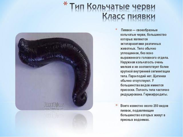Пиявки — своеобразные кольчатые черви, большинство которых являются эктопара...