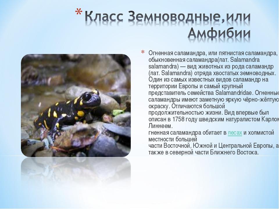 Огненная саламандра, или пятнистая саламандра, обыкновенная саламандра(лат. S...