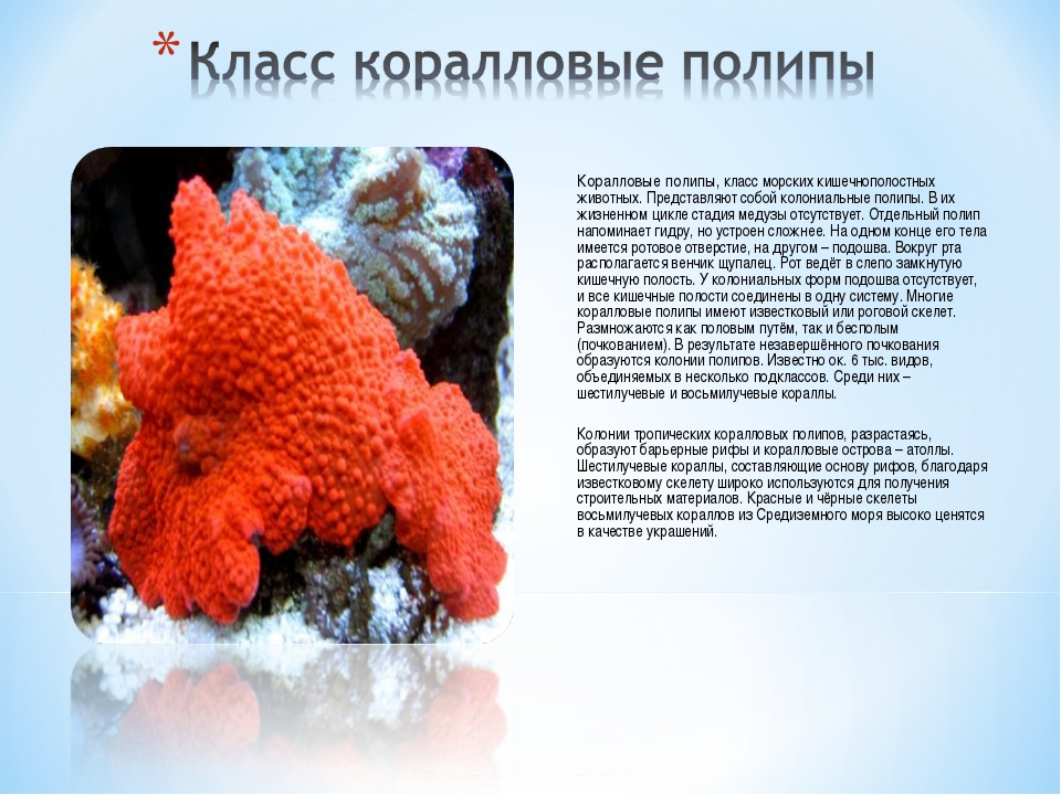 Коралловые полипы, класс морских кишечнополостных животных. Представляют соб...