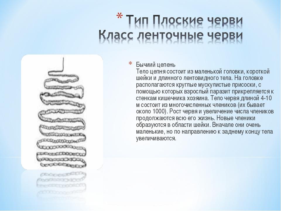 Бычиий цепень Тело цепня состоит из маленькой головки, короткой шейки и длинн...