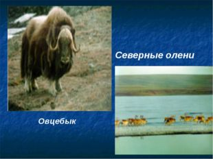 Овцебык Северные олени