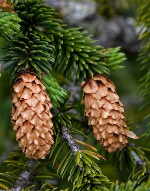http://www.vashsad.ua/downloads/image/encyclopedia/Picea/Picea_abies6.jpg